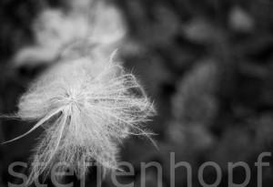 Dryas octopetala - Weisse Silberwurz verblüht 03