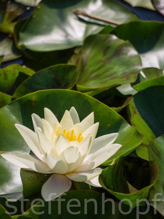 Nymphaea - Seerose am Teich 03