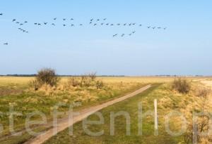 Zugvögel: Schwarm Ringelgänse