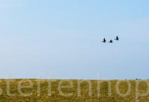 Zugvögel: Drei Ringelgänse