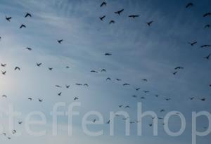 Zugvögel: Ringelgänse
