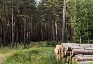 Waldblick mit Baumstämmen
