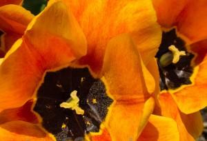 Garten und Balkonpflanzen - Tulpen auf einer Wiese 02 von Steffen Hopf.