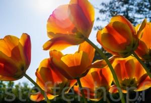 Garten und Balkonpflanzen - Tulpen auf einer Wiese im Sonnenschein von Steffen Hopf.