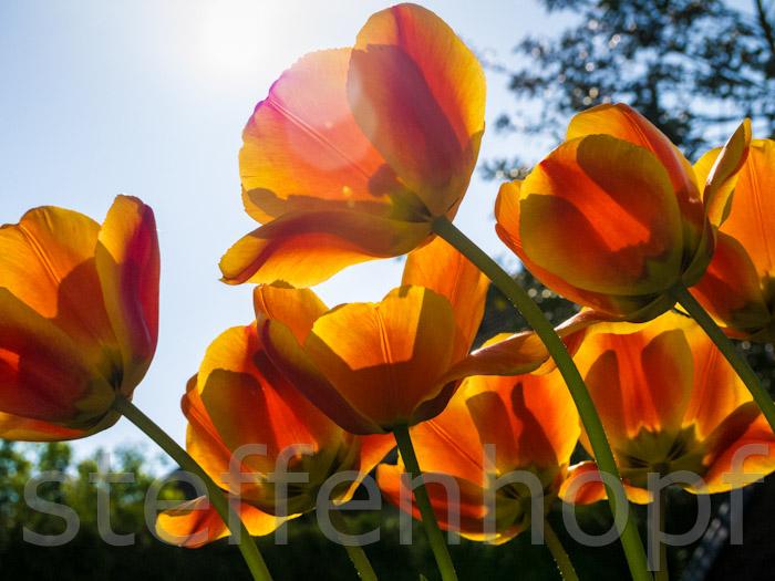 garten und balkonpflanzen tulpen auf einer wiese im sonnenschein. Black Bedroom Furniture Sets. Home Design Ideas