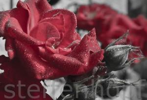 Colorkey Rose 01