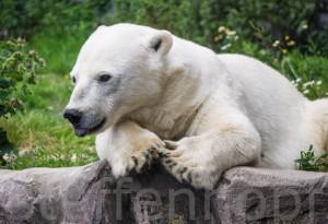 Eisbär Antonia -  - Zoom Erlebniswelt Alaska in Gelsenkirchen