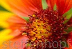 Garten- und Balkonpflanzen - Kokardenblume 08 von Steffen Hopf.