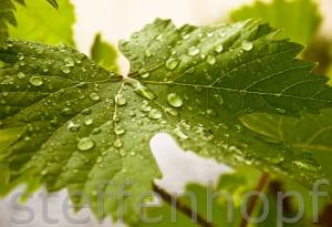 Garten und Balkonpflanzen - Weinblatt mit Regentropfen von Steffen Hopf.