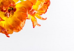 Tulpenblüten 02