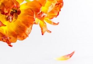 Tulpenblüte mit Blütenblatt 04