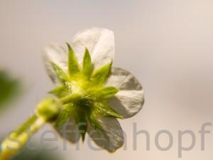 Erdbeerpflanze in voller Bluete 04 von Steffen Hopf.
