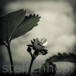 20120513-Blueten-017-2 von Steffen Hopf.