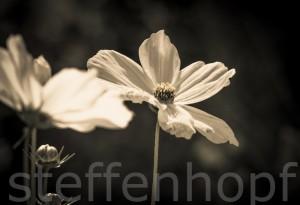 Cosmos bipinnatus - Blütenpracht eines Schmuckkörbchen 01 von Steffen Hopf