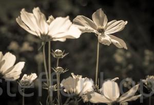 Cosmos bipinnatus - Blütenpracht eines Schmuckkörbchen s/w 02 von Steffen Hopf
