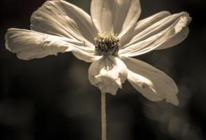 Cosmos bipinnatus - Blütenpracht eines Schmuckkörbchen s/w 04 von Steffen Hopf