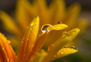 Sommerregen - Tropfen auf einer Blüte