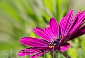 Garten und Balkonpflanzen - Kapkoerbchen 03