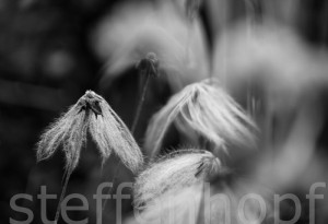 Dryas octopetala - Weisse Silberwurz verblüht 01