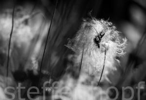 Dryas octopetala - Weisse Silberwurz verblüht 06
