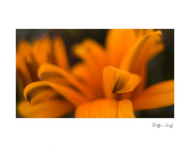 Mittagsgold - Blütenblätter in Tiefenschärfe