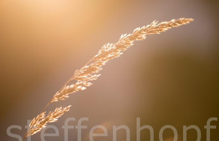 Gras im Wind